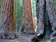 Sequoia National Park, CA photo